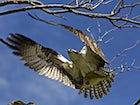Watch ospreys on Loch Garten