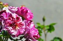 Rosarium Rose Garden, Kazanlak