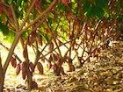 Bosques de Cacao Yariguies