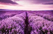 Lavender Farm in Santăul Mic
