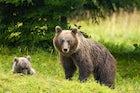 Bears and wildlife, Slovenia