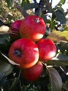 Apples & Pears Farm in Åland