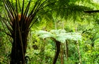 Giant Fern Forest, Amboró National Park