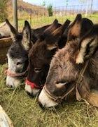 Donkey farm -  Martinići