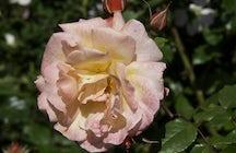 Rose Garden (Rosengarten)