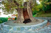 Giant Plane Tree in Telavi