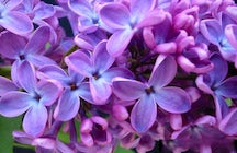 The days of lilacs