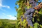 Taste Sagrantino wine