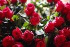 Zakir Hussain Rose Garden, India
