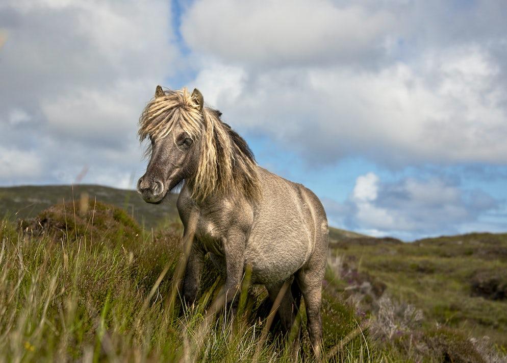 Shetland pony - Pictures Credits to Marcin_Kadziolka