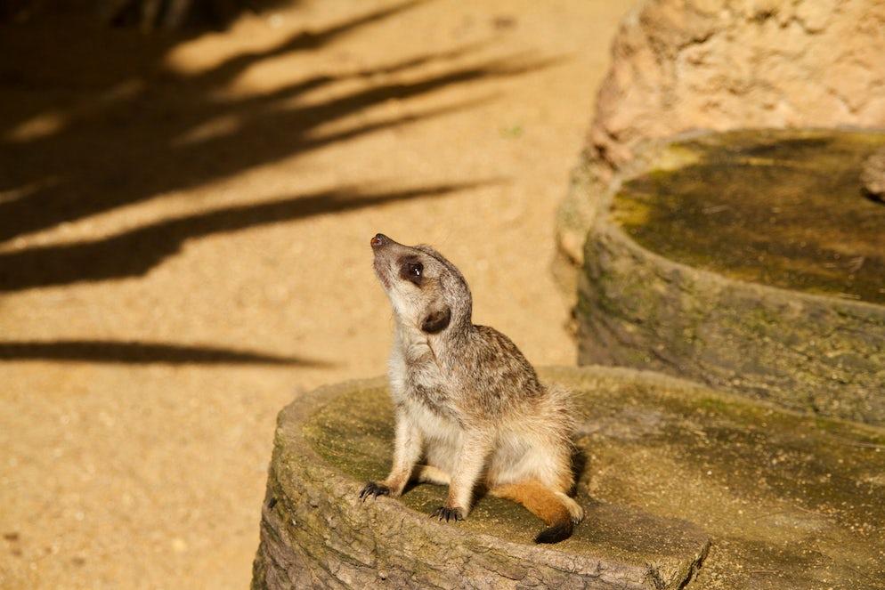 A friendly little Meerkat.
