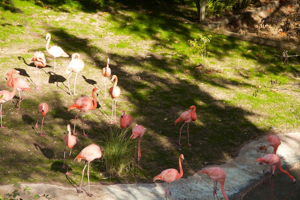 Pink Flamingos on their pond.