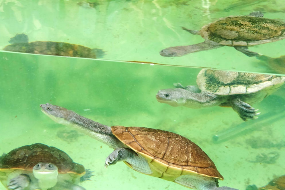 The very curious Long-neck Turtles.