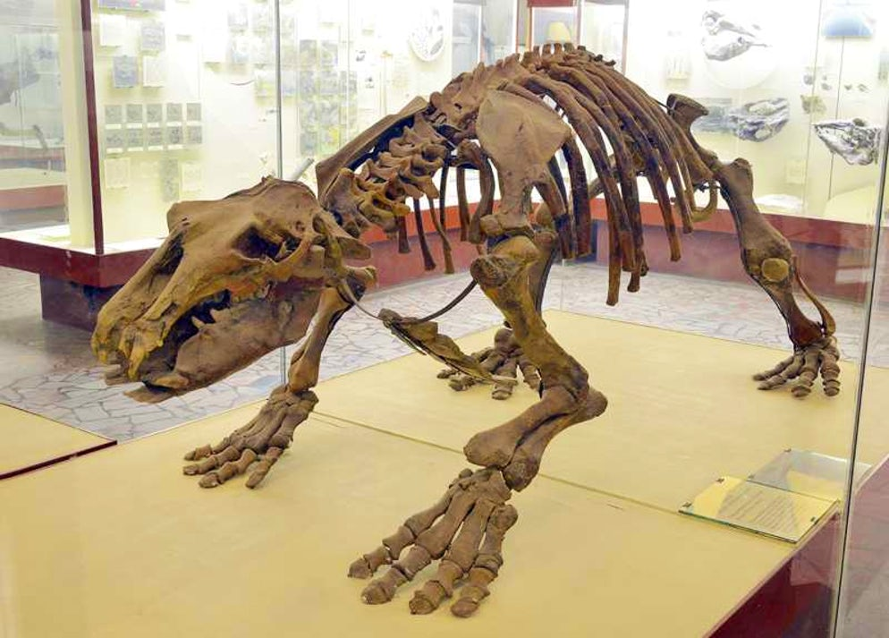 Photo © credits to the Orlov Museum of Paleontology. Paleoparadoxia