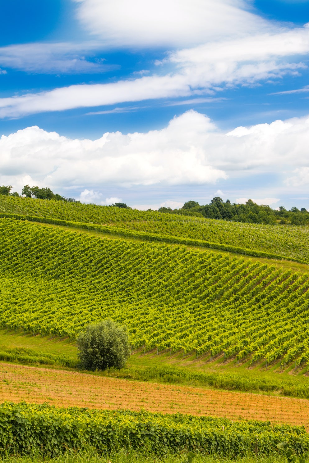 Slavonian vineyard; Photo © credits to iStockphoto/iascic