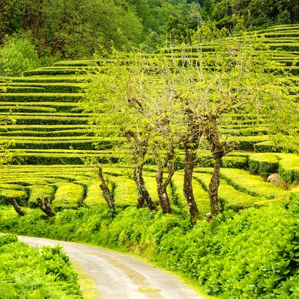 Die besten Wanderwege der Azoren - Gorreana Teefelder