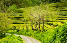 The best hiking trails of the Azores - Gorreana tea fields