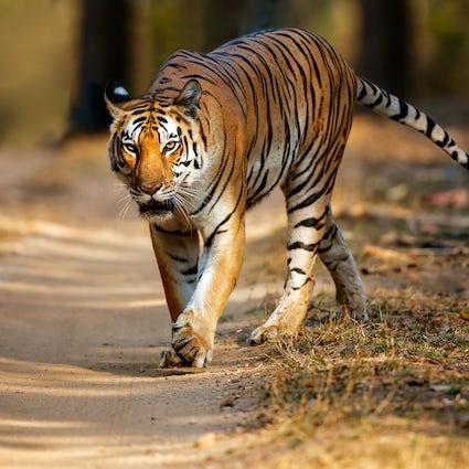 Une excursion d'une journée au parc national de Kanha dans le Madhya Pradesh
