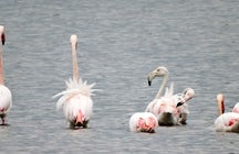 Flamingos in Montenegro - regular guests at Ulcinj Salina