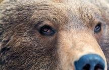 Das größte Braunbärenreservat der Welt auf Zărneşti