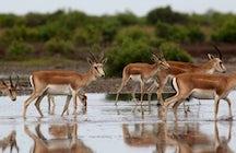 Las gacelas del parque nacional Shirvan