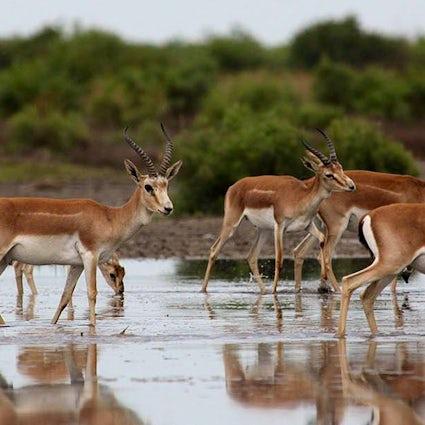 Les gazelles du parc national de Shirvan