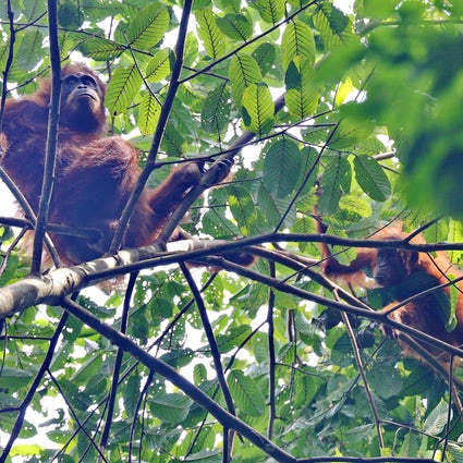 See orangutans in the wild in Ketambe, North Sumatra
