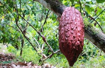 Bosques de Cacao Yariguies: Agritourism with a cocoa smell and a chocolate taste