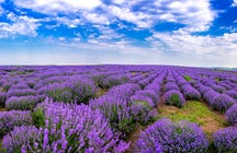Take the best photos in lavender fields of Cobusa Noua