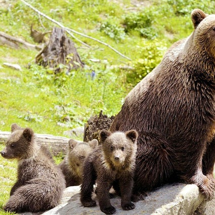 Bear watching in Slovenia: Don't fear the bear