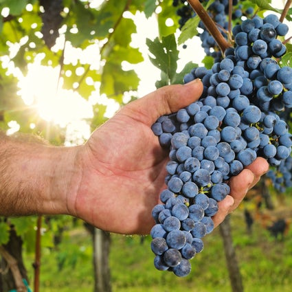 The tradition of the grape harvest in Slovenia