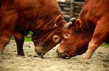 Bosnische stierengevechten in een notendop