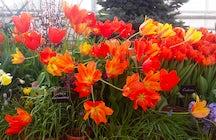 Genießen Sie die Frühlingsprobe im Moskauer Aptekarsky Ogorod.