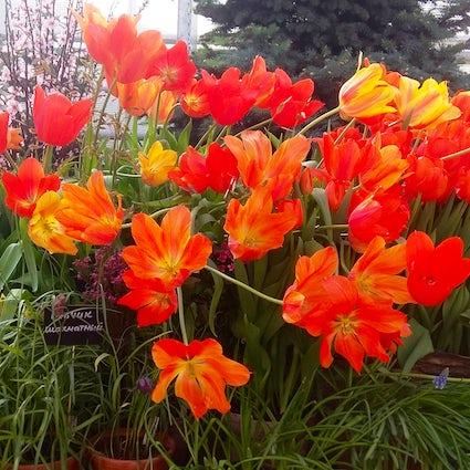 Disfrute del ensayo de primavera en el Aptekarsky Ogorod de Moscú
