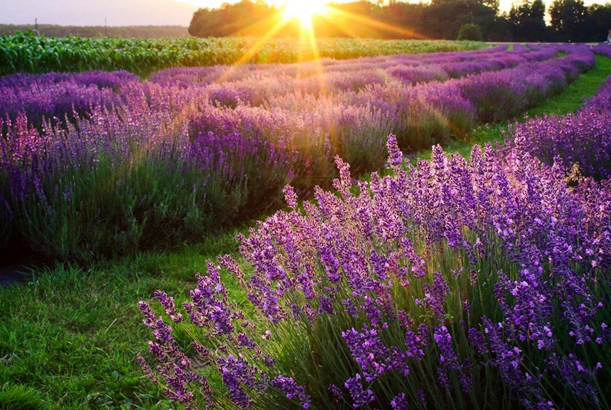 Strolling amongst the fields of Slovenian lavender in Starše