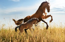 Wild horses of Livno: galloping with Bosnian mustangs