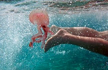 Swim with stingless jellyfish in Mariona Lake, Sulawesi