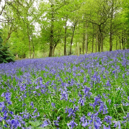 Bluebell woods in Oxford