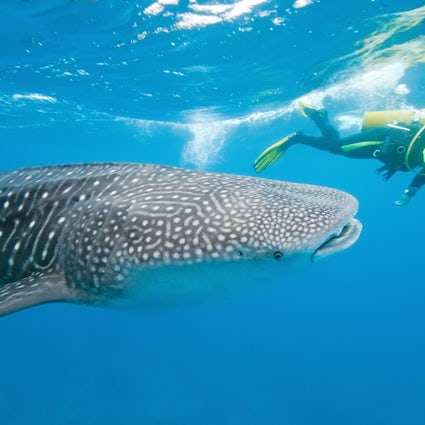 Swim with whale sharks in South Ari Atoll