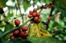 Coffee in Los Yungas: the taste of a heavenly region