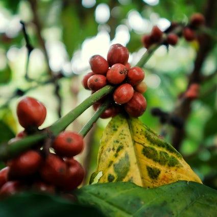 Koffie in Los Yungas: de smaak van een hemelse streek