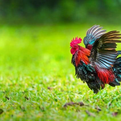 Đurđevac: come un gallo ha salvato la città