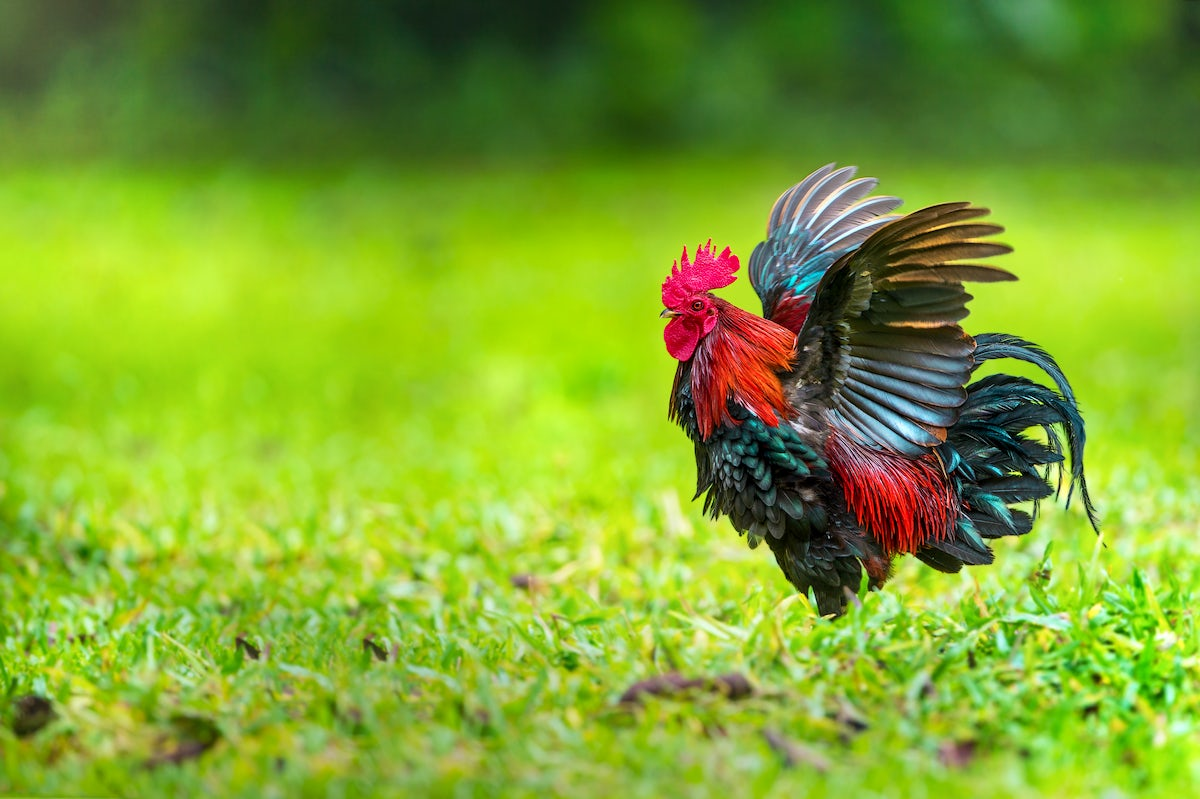 Đurđevac: how one rooster saved the town