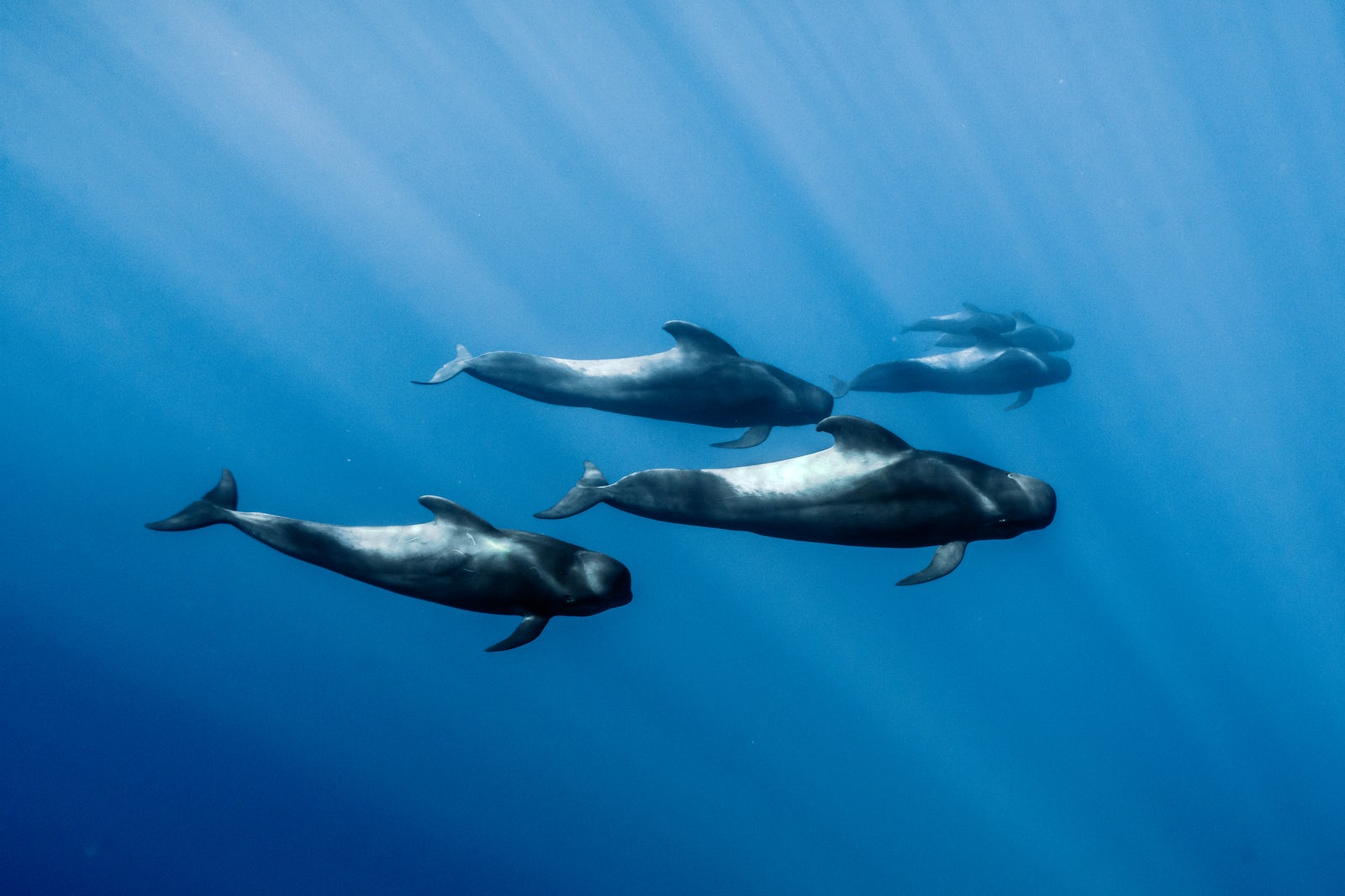 Family of short-finned pilot whales underwater on Azores Islands, Picture © Credits to Dmitry Kokh