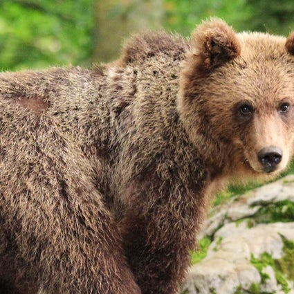 Bären & slowenische Kultur