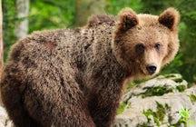 Bears & Slovenian culture