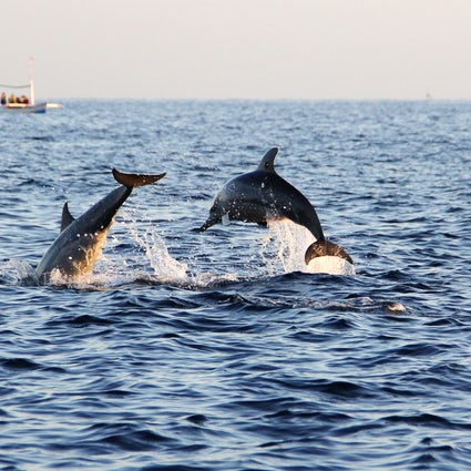 Dolphin watching in Apulia