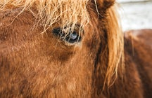 Icelandic horse: the cutest thing about Iceland