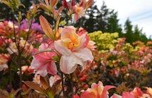 La magica fioritura nel Parco dei Rododendri di Haaga, Helsinki