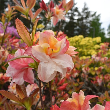 El mágico florecimiento en el Parque del Rododendro de Haaga, Helsinki